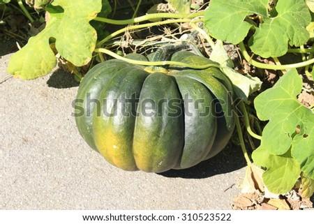 Green ripe pumpkin growing on the vegetable patch in Innsbruck, Austria. - stock photo