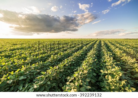 Green ripening soybean field, agricultural landscape - stock photo