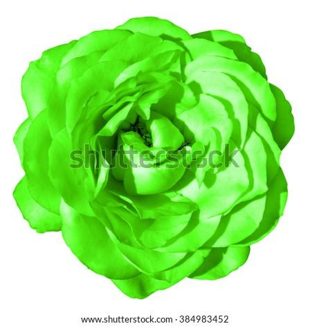Green rose flower macro isolated on white - stock photo
