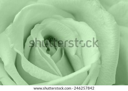 green rose macro - stock photo