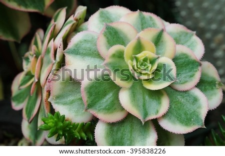 Green rosettes of the sempervivum succulent plant