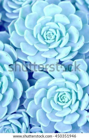 Green rosettes of the sempervivum succulent plant. Toned - stock photo