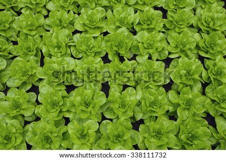 Green rows of lettuce culture on fertile soil - stock photo