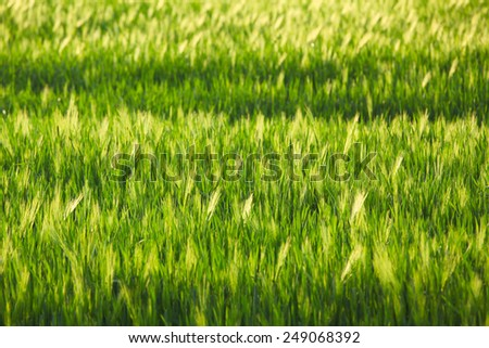 Green rye field in summer on a sunny day - stock photo