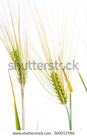 green rye- grain in front of white background - stock photo