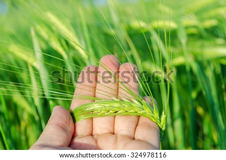 green rye in farmers hand over field - stock photo