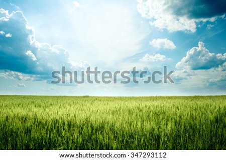 Green rye in field on a sunny day, Europa - stock photo
