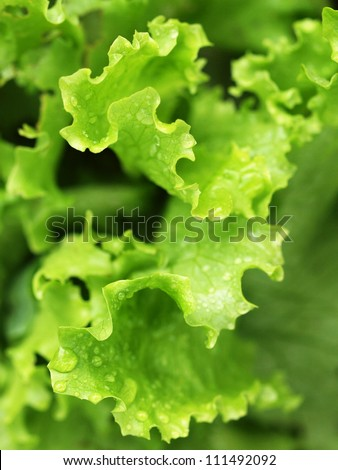 Green salad leaves with drops of water - stock photo