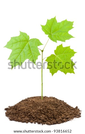 Green sapling of young maple. Isolated on a white. - stock photo