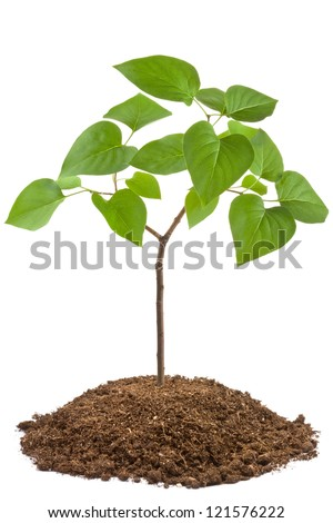 Green sapling of young tree. Isolated on a white. - stock photo