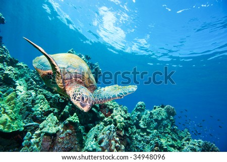 green sea turtle and coral reef maui hawaii - stock photo