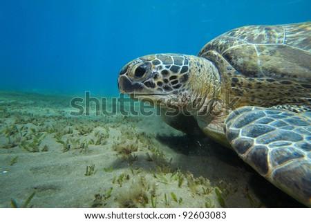Green Sea Turtle (Chelonia mydas) - stock photo