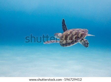 Green Sea Turtle (Chelonia mydas), Klein Curacao, Dutch Caribbean, Curacao - stock photo