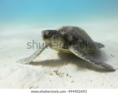 Green sea turtle. Marine Life in the Red Sea. Egypt