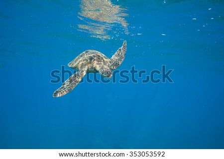 Green Sea Turtle near the surface - stock photo