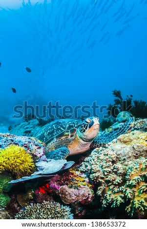 Green Sea turtle on colorful reef underwater with blue background
