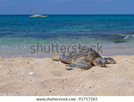 Green Sea Turtle on the beach with the tropical ocean in the background - stock photo