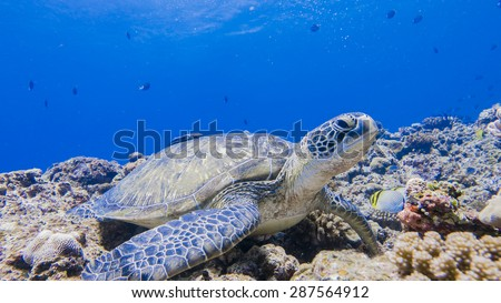 Green Sea Turtle staying in okinawa, Japan.