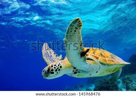 Green Sea Turtle swimming in Caribbean - stock photo