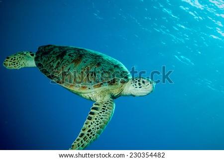 Green sea turtle swimming in Derawan, Kalimantan, Indonesia underwater photo. Chelonia mydas swim in the middle of the sea. - stock photo
