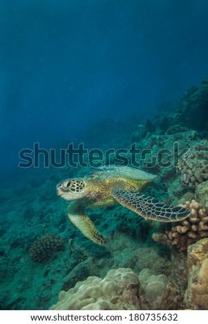 Green Sea Turtle swimming on the reef - stock photo