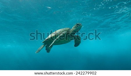Green sea turtle swimming under the surface through crystal clear blue water - stock photo
