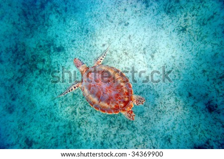green sea turtle swims in turquoise waters