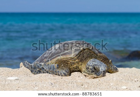 Green Sea Turtle warming up on the beach on a hot sunny afternoon - stock photo