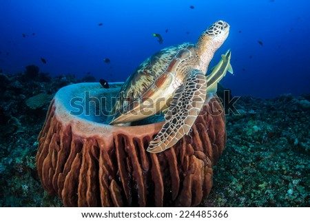Green Sea Turtle with Remora swims out from a barrel sponge in t - stock photo