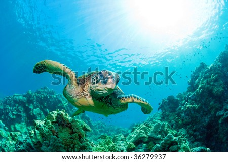 green sea turtle with sunburst in background underwater - stock photo