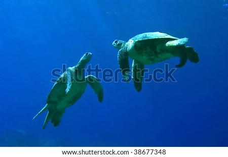Green Sea Turtles Playing in Kona Hawaii - stock photo
