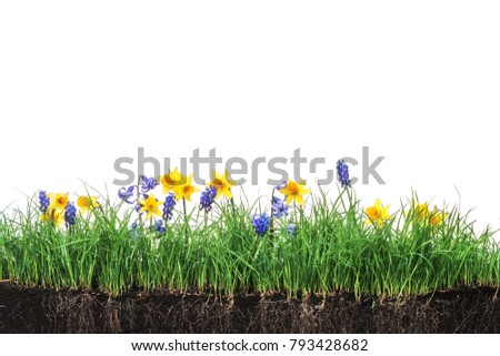 Green section of a grass with daffodils on a white background