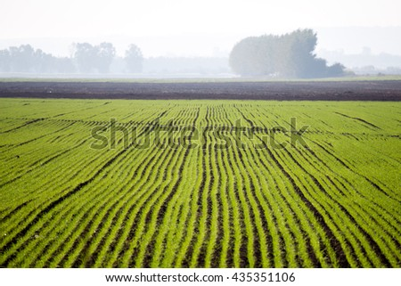 Green seeds in the fields with fog at the background in sunny morning at natural park in Israel - stock photo