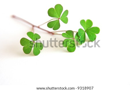 Green shamrocks placed on a white background. Perfect to be used as a concept for St. Patrick's Day - stock photo