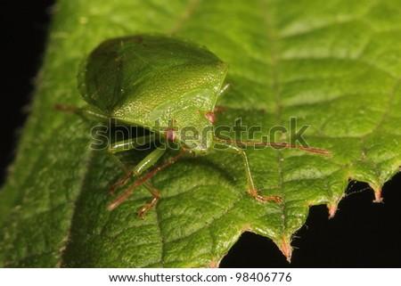 Green shieldbug - stock photo