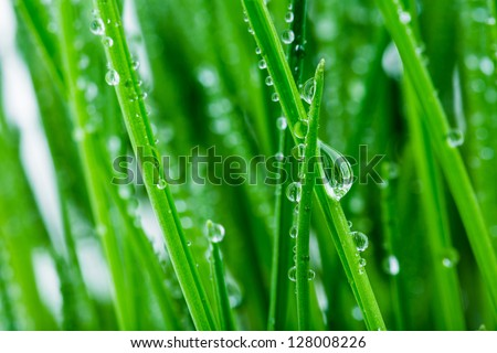 green shoots of spring grass in water drops macro lens shot - stock photo