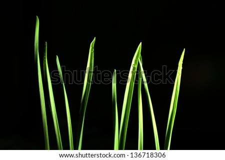 green shoots, sprouts, grass, on a black background - stock photo