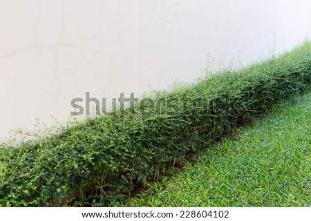 green shrub fence in garden with cement crack wall background - stock photo