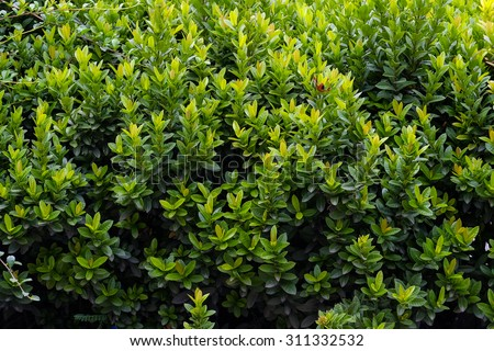 green shrub in the garden for background and perspective. - stock photo