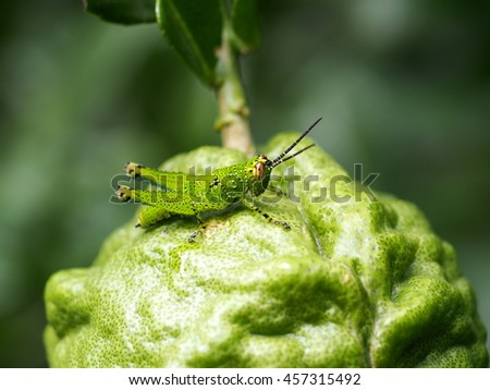 green small cute wild tropical insect grasshopper resting on Kaffir lime young fruit rough texture in home garden under natural sunlight with outdoor nature bokeh background - stock photo