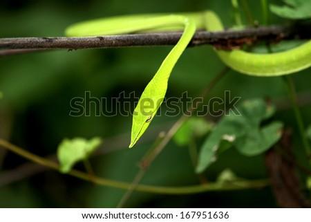 Green snake - stock photo