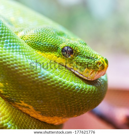 Green snake closeup with focus on eye  - stock photo