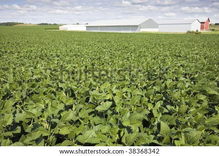 Green soybean field, red farm buildings in the background. - stock photo