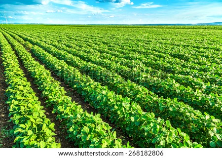 Green soybean plants close-up shot, mixed organic and gmo - stock photo