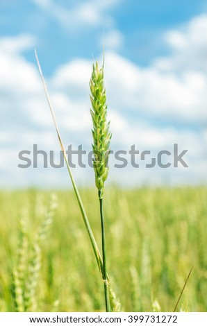 green spica on spring field - stock photo