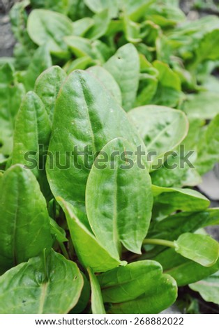 green spinach in the garden