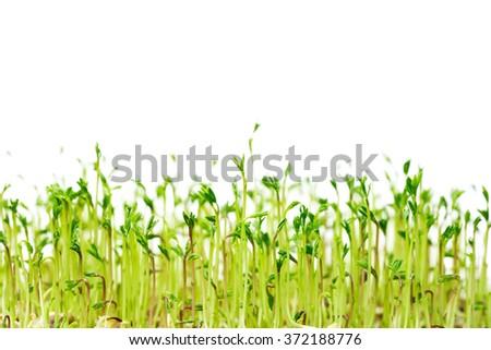 Green spouts of lentis - stock photo