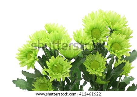 Green spray mum isolated on white background  - stock photo