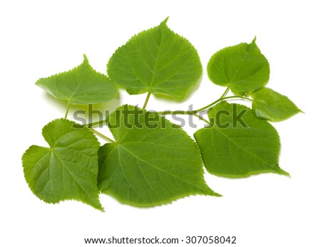Green sprig of linden-tree. Isolated on white background. - stock photo