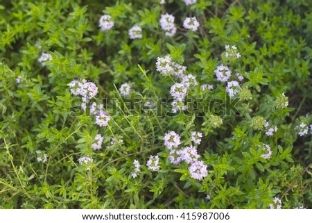 Green spring background Thyme  with Pink flowers - stock photo